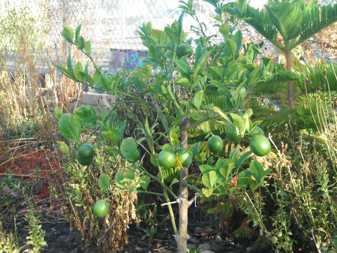Lemon Tree in honor of Shirley Rogers donated by North Park Nursery.