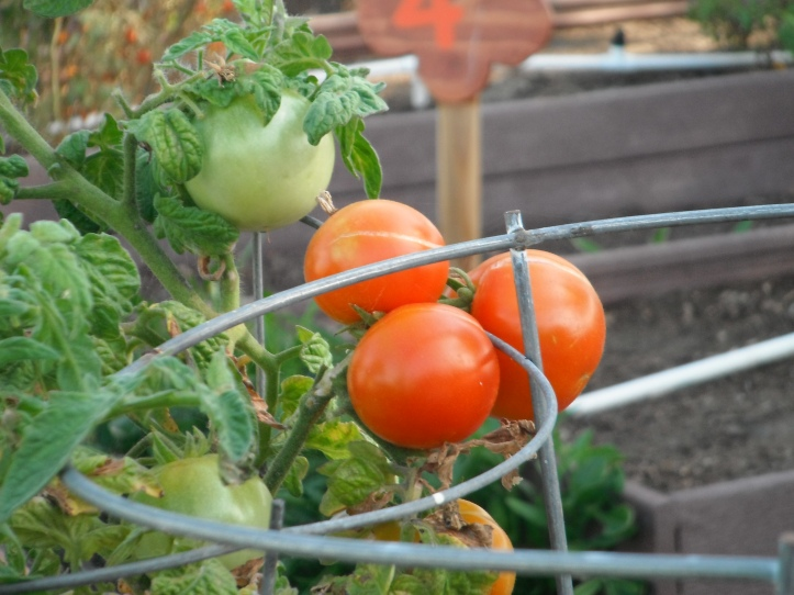 Ripe tomatoes in K bed. Planted last year by Alchemy Cooking Class